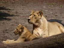 Λιονέλ με cub στοκ φωτογραφίες