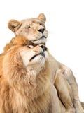 Λιοντάρια ερωτευμένα Στοκ Φωτογραφίες