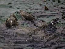Λιοντάρια θάλασσας Καλιφόρνιας Στοκ Εικόνες