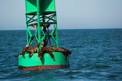 Λιοντάρια θάλασσας Καλιφόρνιας Στοκ εικόνα με δικαίωμα ελεύθερης χρήσης