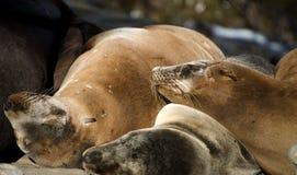 Λιοντάρια θάλασσας Καλιφόρνιων που απολαμβάνουν τον ήλιο Χριστουγέννων στη Λα Χόγια Στοκ φωτογραφία με δικαίωμα ελεύθερης χρήσης