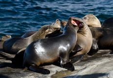 Λιοντάρια θάλασσας Καλιφόρνιων που απολαμβάνουν τον ήλιο Χριστουγέννων στη Λα Χόγια Στοκ εικόνες με δικαίωμα ελεύθερης χρήσης