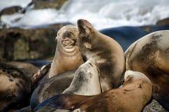 Λιοντάρια θάλασσας Καλιφόρνιων που απολαμβάνουν τον ήλιο Χριστουγέννων στη Λα Χόγια Στοκ εικόνα με δικαίωμα ελεύθερης χρήσης