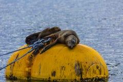 Λιοντάρια θάλασσας που κοιμούνται σε ένα Bouy στο SAN Deigo Στοκ φωτογραφίες με δικαίωμα ελεύθερης χρήσης