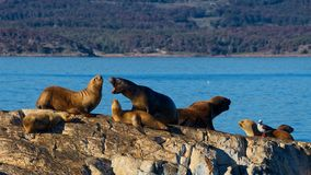 Λιοντάρια θάλασσας στο κανάλι λαγωνικών, μεταξύ της Αργεντινής και της Χιλής στοκ φωτογραφία με δικαίωμα ελεύθερης χρήσης