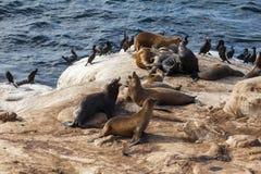 Λιοντάρια θάλασσας Καλιφόρνιας Στοκ Εικόνα
