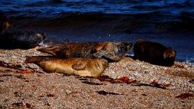 Λιοντάρια θάλασσας σε μια παραλία στη Σκωτία Στοκ Φωτογραφίες