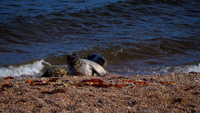 Λιοντάρια θάλασσας σε μια παραλία στη Σκωτία Στοκ Εικόνες