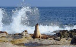 Λιοντάρια θάλασσας, συντρίβοντας κυματωγή, και πελεκάνοι Στοκ φωτογραφία με δικαίωμα ελεύθερης χρήσης