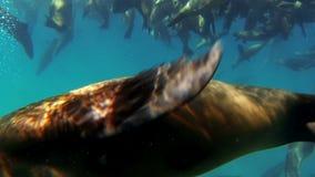 Λιοντάρια θάλασσας υποβρύχια απόθεμα βίντεο