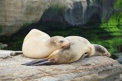 Λιοντάρια θάλασσας ύπνου Στοκ Φωτογραφίες