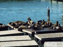 Λιοντάρια θάλασσας στοκ φωτογραφία