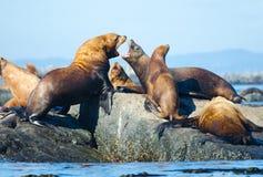 Λιοντάρια θάλασσας Steller Στοκ Φωτογραφίες