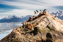 Λιοντάρια και Albatros θάλασσας στο isla στο κανάλι λαγωνικών κοντά σε Ushuaia Στοκ Φωτογραφία