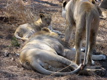 λιοντάρια κρησφύγετων Στοκ εικόνες με δικαίωμα ελεύθερης χρήσης