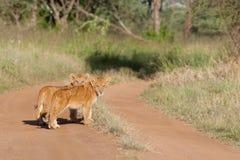 λιοντάρια μωρών στοκ εικόνα με δικαίωμα ελεύθερης χρήσης