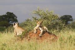 Λιοντάρια που βρίσκονται στο ανάχωμα τερμιτών στοκ φωτογραφία