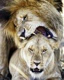 Λιοντάρια που ζευγαρώνουν δίνοντας το δάγκωμα αγάπης στοκ εικόνες