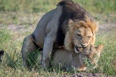 Λιοντάρια που ζευγαρώνουν στη χλόη σε Chobe Στοκ Φωτογραφίες