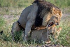 Λιοντάρια που ζευγαρώνουν στη χλόη σε Chobe Στοκ Εικόνες