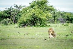 Λιοντάρια που ζευγαρώνουν στη χλόη σε Etosha Στοκ εικόνες με δικαίωμα ελεύθερης χρήσης