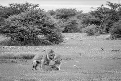 Λιοντάρια που ζευγαρώνουν στη χλόη σε Etosha Στοκ Φωτογραφίες