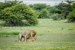 Λιοντάρια που ζευγαρώνουν στη χλόη σε Etosha Στοκ Εικόνα