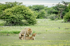 Λιοντάρια που ζευγαρώνουν στη χλόη σε Etosha Στοκ Φωτογραφία