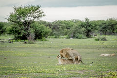 Λιοντάρια που ζευγαρώνουν στη χλόη σε Etosha Στοκ φωτογραφία με δικαίωμα ελεύθερης χρήσης