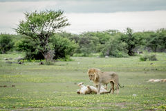Λιοντάρια που ζευγαρώνουν στη χλόη σε Etosha Στοκ Εικόνες