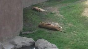 Λιοντάρια που κοιμούνται το χρόνο Στοκ φωτογραφία με δικαίωμα ελεύθερης χρήσης