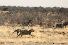 Λιοντάρια που κυνηγούν στη Ναμίμπια στοκ εικόνες