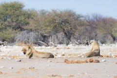 Λιοντάρια που ξαπλώνουν στο έδαφος Το με ραβδώσεις το περπάτημα ανενόχλητο στο υπόβαθρο Σαφάρι άγριας φύσης στο Etosha εθνικό PA Στοκ φωτογραφίες με δικαίωμα ελεύθερης χρήσης