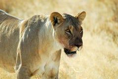 Λιοντάρια στη σαβάνα, εθνικό πάρκο Etosha, Ναμίμπια Στοκ φωτογραφία με δικαίωμα ελεύθερης χρήσης