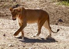 Λιοντάρια στο Serengeti Στοκ φωτογραφία με δικαίωμα ελεύθερης χρήσης