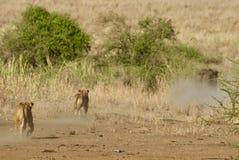 Λιοντάρια στο Serengeti Στοκ εικόνα με δικαίωμα ελεύθερης χρήσης
