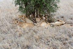 Λιοντάρια της Mara Masai στοκ φωτογραφίες με δικαίωμα ελεύθερης χρήσης
