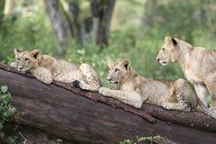 λιοντάρια τρία Στοκ εικόνα με δικαίωμα ελεύθερης χρήσης