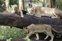 λιοντάρια τρία Στοκ Φωτογραφίες