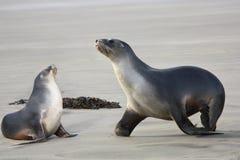 Λιοντάρια δύο θάλασσας Στοκ Εικόνες
