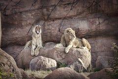 λιοντάρια Στοκ φωτογραφίες με δικαίωμα ελεύθερης χρήσης