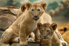 λιοντάρια Στοκ Φωτογραφία