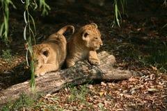 λιοντάρια Στοκ Εικόνα