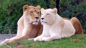λιοντάρια Στοκ εικόνα με δικαίωμα ελεύθερης χρήσης