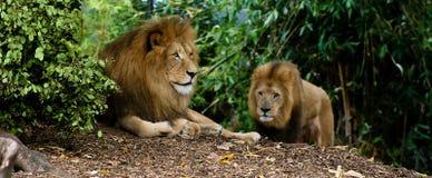 λιοντάρια Στοκ φωτογραφία με δικαίωμα ελεύθερης χρήσης