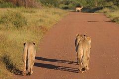 λιοντάρια impala στοκ εικόνες