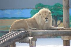 Λιοντάρι, ή μάλλον leo, βασιλιάς των κτηνών στοκ φωτογραφίες
