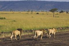 λιοντάρι αδελφών Στοκ φωτογραφία με δικαίωμα ελεύθερης χρήσης