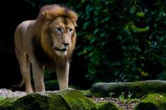 λιοντάρι βασιλιάδων κτηνών Στοκ Εικόνες