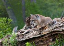 Λιοντάρι βουνών που στηρίζεται σε ένα κούτσουρο Στοκ φωτογραφία με δικαίωμα ελεύθερης χρήσης